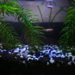 本日のメダカ21「モノアラガイ大量繁殖」