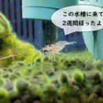 ヤマトヌマエビ導入から2週間、苔を食べる順番