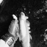 インレッド樺太岩魚