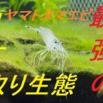 【驚愕】ヤマトヌマエビのコケ取り能力【導入から1週間】